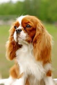 Related Pictures shih tzu cavalier king charles spaniel mix dog for ...