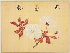 Un libro de bocetos de sakura (flores del cerezo) (1).La sakura (flor del cerezo), cuya belleza ha sido inspiración de los artistas japoneses por mucho tiempo, es la flor más famosa de Japón. Creado a mediados del siglo XIX, Ōka-fu (Un libro de bocetos de las flores del cerezo) tiene los nombres e ilustraciones de 29 variedades de sakura, pintadas sobre seda con delicadas pinceladas. El artista, Sakamoto Kōnen (1800-1853), estudió medicina herbaria con su padre, Sakamoto Jun'an, médico…