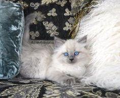 Oxsana Siberian Cats - Hypoallergenic cats, hypoallergenic kittens, Siberian Kittens, Siberian Cats