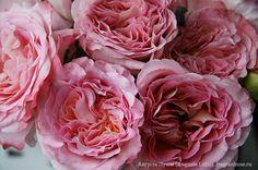 Августа Луиза (Augusta Luise) / Фея розы