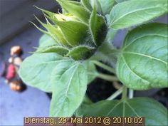Bald ist es so weit: Die Webcam-Sonnenblume strotzt vor Kraft und steht kurz vor dem Erblühen!