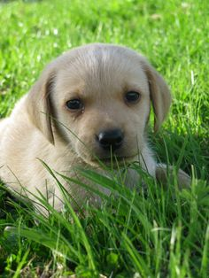 grass puppy dog animal cute pet golden mammal outdoors vertebrate labrador retriever beagle labrador dog breed retriever dog like mammal carnivoran