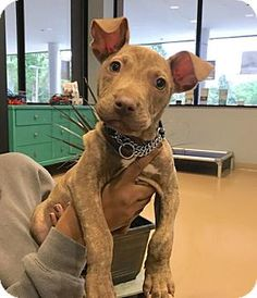 Pictures of Duncan G (MD) a Pit Bull Terrier Mix for adoption in New York, NY who needs a loving home.