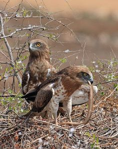 Circaetus gallicus--Short-toed snake eagles with prey by Jean-le-Blanc