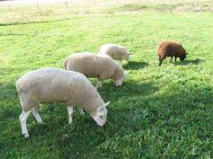 The Sheep Whisperer: Sheep Counting Calories?