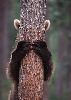 'Brown bear cub behind the tree' - photo by Jari Peltomäki, via 500px;  hiding behind the pine tree in Finnish forest
