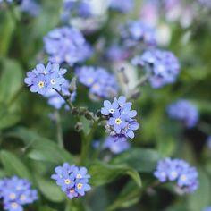 Zu den Lieblingsblumen meiner Kindheit gehört das Vergissmeinnicht und zwar in klassisch blau. Kein Wunder also, dass ich im Frühjahr nicht…