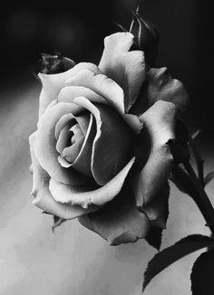 La rose en noire