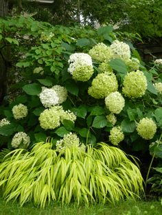 Annabelle hydrangea and Hakone Japanese Forest Grass in a Toronto shade garden by garden muses-a Toronto gardening blog
