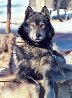 Wolf dogs are bad business. You see that CHAIN that it's tied to? Wolf dogs have a habit of seeing thing in 'pack mentality'. Their owner is their 'Alpha' and anyone else tends to not be able to get close. They dig through gar Beautiful Dogs, Animals Beautiful, Cute Animals, Wild Animals, Stunningly Beautiful, Wolf Hybrid Dogs, I Love Dogs, Cute Dogs, Timberwolf
