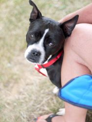 Aunt Tootie is an adoptable Boston Terrier mix Dog in Fairfax, VA. Available through Mutt.  Fabulous 5-year old girl who would be happiest as an only pet.  Lots of love to give her humans!!!  Fun dog! For more info check muttloverescue.org