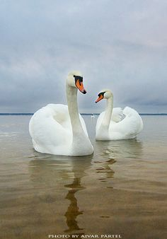 swans IV: Photo by Photographer Aivar Pärtel Animals Of The World, Animals And Pets, Cute Animals, Beautiful Swan, Beautiful Birds, Cygnus Olor, White Swan, All Birds, Animal Totems