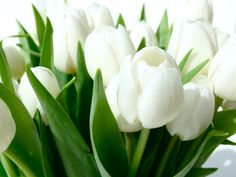 white tulips for the bridal bouquet White Tulips, Tulips Flowers, My Flower, Daffodils, White Flowers, Beautiful Flowers, White Roses, Beautiful Life, Spring Flowers