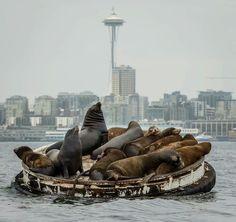 Sea lions hanging out in Elliott Bay, Seattle.