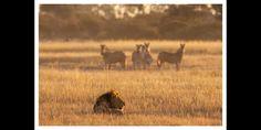 Zebras watching pride male lion ay sunrise