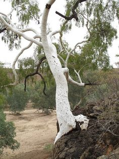 Ross River Crossing - Ghost Gum - Eucalyptus papuana
