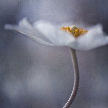 Fotobehang - White Anemone