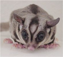 Sugar Glider: average length of 12-13 inches (including tail). Diet consists of insects, vegetables and fruits. Sugar gliders have an average lifespan of 9-12 years. Sugar gliders are relatively quiet and small, making them an ideal apartment pet.
