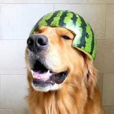 Walter with the watermelon 😳😳😳 Little Kitten Pet Dogs, Dogs And Puppies, Pets, Little Kittens, Watermelon, Animals, Animals Dog, Animales, Animaux