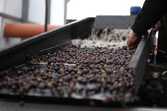From the Harvest to the machines! Olives are pressed in Olea-Essence Olive Oil Press in the Golan Heights to make an Extra Virgin Olive Oil.