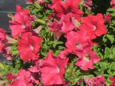 Hort Couture petunia 'Panche Coral Reef' Large coral red flowers and nice mounding habit. Ideal for combinations. Profuse bloomer and very weather tolerant.