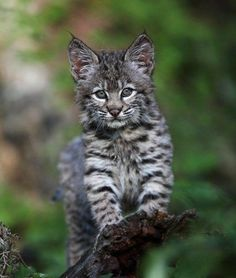 bobcat kitten by rarecollection.ch - Pixdaus