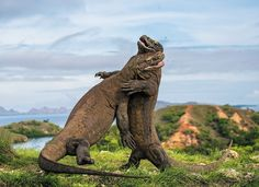 The biggest lizards on Earth — Komodo dragons — stage brutal fights over territory in Indonesia.