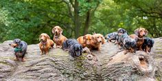 doxies on a log
