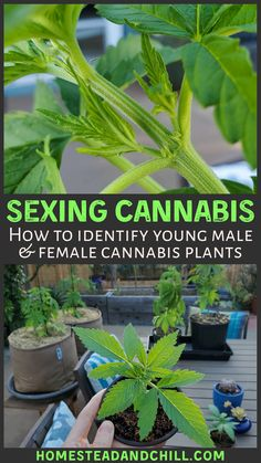 Learn how to tell the difference between male and female cannabis plants, so you can properly sex your cannabis in the early pre-flower stage. Cannabis Plant, Growing Weed, Cannabis Growing, Hydroponic Grow Systems, Weed Plants, Marijuana Facts, Medical Cannabis, Stage, Medical Marijuana