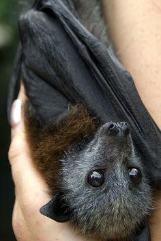 Fruit Bat Baby by urbanmenagerie, via Flickr