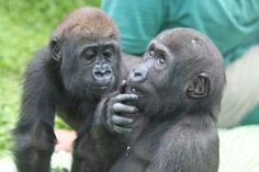 IMG_8648 (by katka789)  Tagged: primate ape