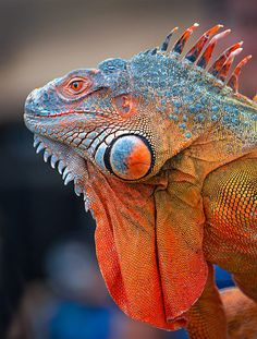 Iguana Reptile Blue And Orange By Tam Duy 2015