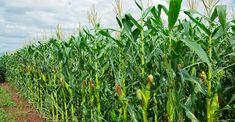 Η καλλιέργεια του καλαμποκιού - Meteofarm Herbs, Plants, Grow Strawberries, Organic Fertilizer, Green Houses, Herb, Plant, Planets, Medicinal Plants