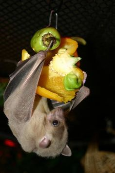 healthy fruit desert fruit bat