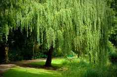 Learn How to Grow the Graceful Weeping Willow