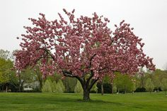 Prunus serrulata - Kwanzan Cherry Tree