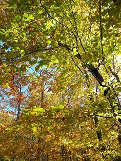 neon beech leaves