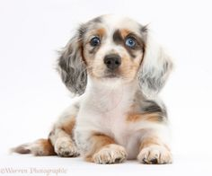 Photograph of Silver double dapple Dachshund pup, Lacy, 8 weeks old. Rights managed white background Dog image. Dachshund Breed, Dachshund Funny, Long Haired Dachshund, Dachshund Love, Silver Dapple Dachshund, Little Puppies, Cute Puppies, Cute Dogs, Dogs And Puppies