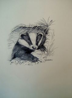 Drawing of a Badger Signed N F Shenton Vintage Art Ink Sketch Wall Hanging Home…