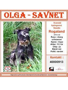 SAVNET : Svandal hyttegrend, Sauda, Rogaland (09.01.16) NAVN : Olga . . RASE : dvergschnauser . . FARGE : . . KJØNN : tispe . . ALDER : 11.5 år . . VEKT : . . CHIP : ja . . BÅND : nei . . POLITI/FALCK/VIKING : varslet . .  KONTAKT : 40000913 . . . HJERTEkontakt : Lucia: 992 68 386 og Anne B: 92020142 .