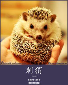 刺猬 - cì wèi - nhím cảnh - hedgehog