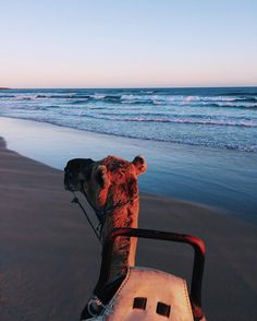 Camel Ride at Sunset on Stockton Sand Dunes in Port Stephens   Anna's Bay   Birubi Beach   Australia Travel   NSW . . I am SO excited to start sharing pictures from my trip to Port Stephens with y'all, a beautiful coastal area just 2.5 hours north of Sydn