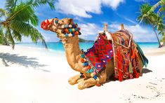 Download wallpapers camel, beach, tropical islands, summer, sea, sand, travel concepts