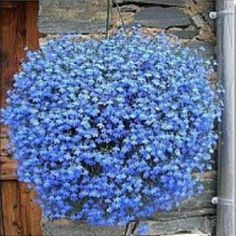 Cheap seeds bulk, Buy Quality plant spider directly from China seed flower Suppliers: Bonsai Flower seeds Balcony plant Lobelia flower seeds Outdoor plants Balcony Flowers, Balcony Plants, Outdoor Plants, Garden Plants, Indoor Balcony, Lobelia Flowers, Flax Flowers, Flowers Perennials, Potted Flowers