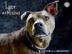 IGOR - ID#A1723249 - URGENT - Miami Dade Animal Services in Miami, Florida - ADOPT OR FOSTER - 6 year old Neutered Male Terrier mix - at the shelter since May 21, 2016.
