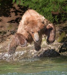 Brown Bears on the Alagnak River, Katmai National Park, Alaska.