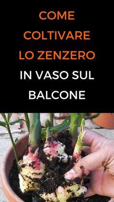 Come coltivare lo zenzero in casa o in un vaso sul balcone.