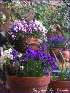 Viola cornuta (small pansies) and iron bird