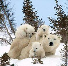 Polar bear mum and cubs.