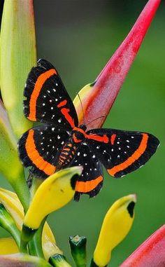 Amarynthis meneria - Female, fam. Riodinidae, Madre de Dios region, Peru  (by BlezSP @ Flickr)